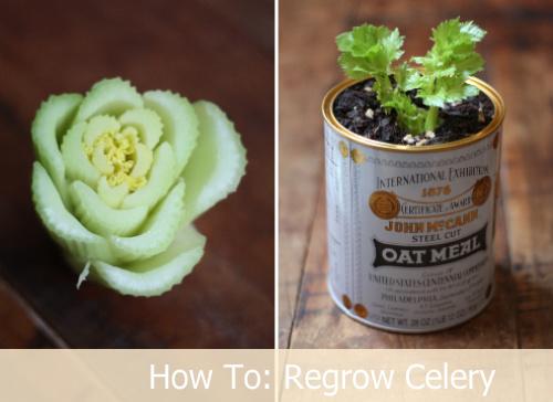 How To Regrow Celery Indefinitely