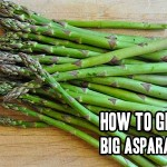 How To Grow Big Asparagus