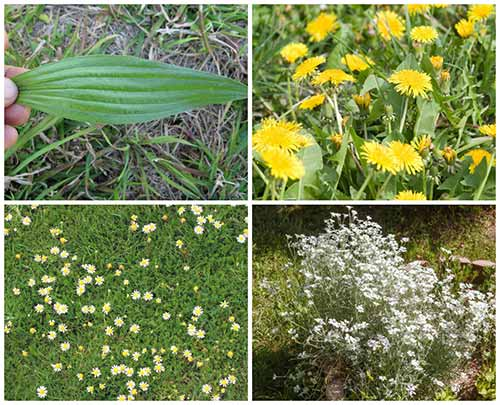 18 Edible Backyard Weeds