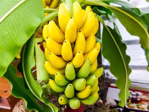 How to Grow Banana Trees Anywhere