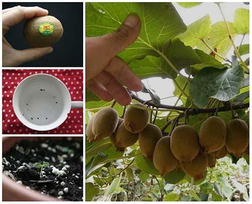 How To Grow A Kiwi Plant From Seed Iseeidoimake