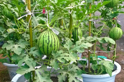 How To Grow Watermelon Vertically in Pots