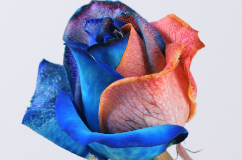 How To Make Rainbow Roses At Home