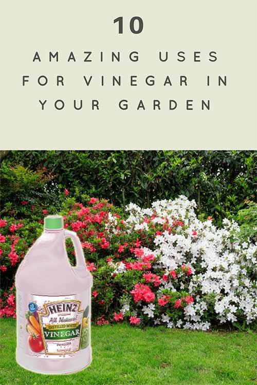 10 Amazing Uses For Vinegar In Your Garden Iseeidoimake