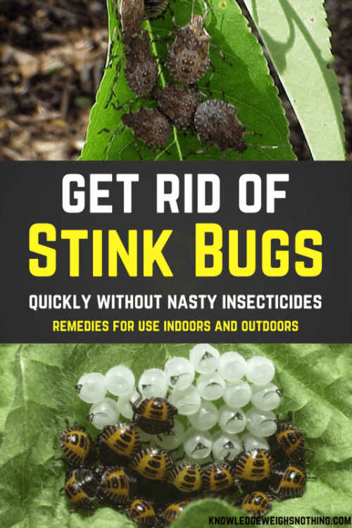 Effective Stink Bug Home Remedies For Home and Yard