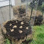 Grow Your Own Endless Supply of Potatoes