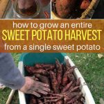How to Grow An Entire Sweet Potato Harvest From A Single Sweet Potato