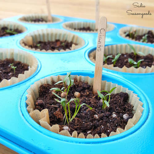 Muffin Pan Herb Starters - Upcycled Herb Garden