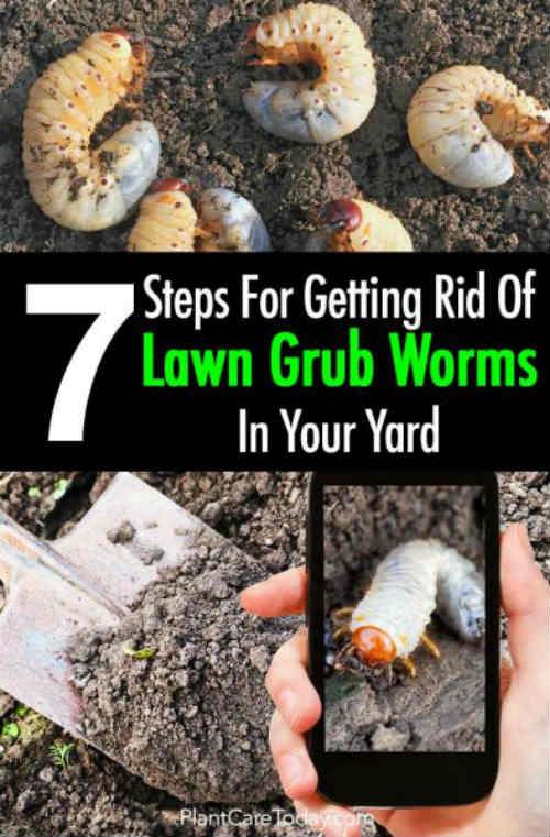 7 Steps For Getting Rid Grub Worms In Your Yard Iseeidoimake